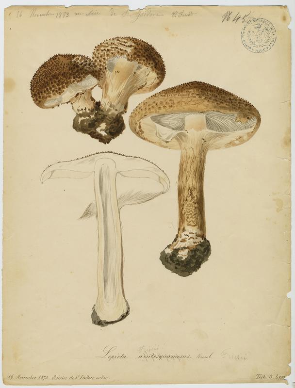 FOSSAT Vincent (aquarelliste, peintre) : Lépiote a lames fourchues, champignon