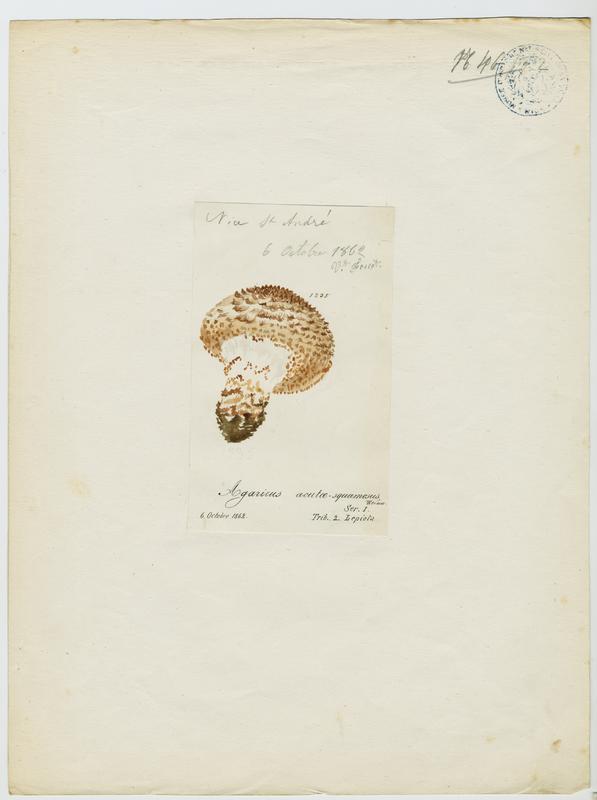 FOSSAT Vincent (aquarelliste, peintre) : Lépiote à écailles aigües, champignon