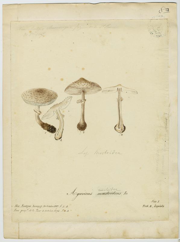 Lépiote mamelonnée ; champignon_0