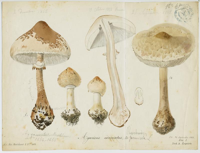 Lépiote excoriée ; champignon_0