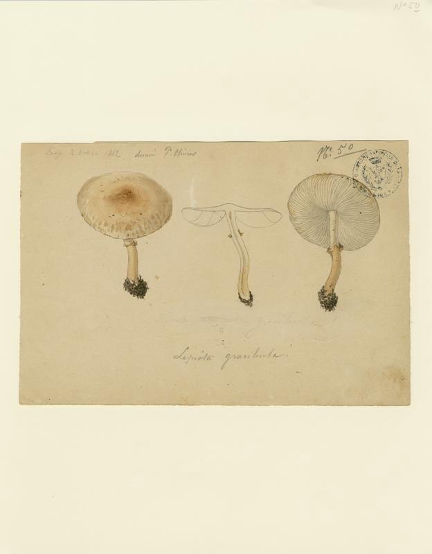 Lépiote gracile ; champignon_0