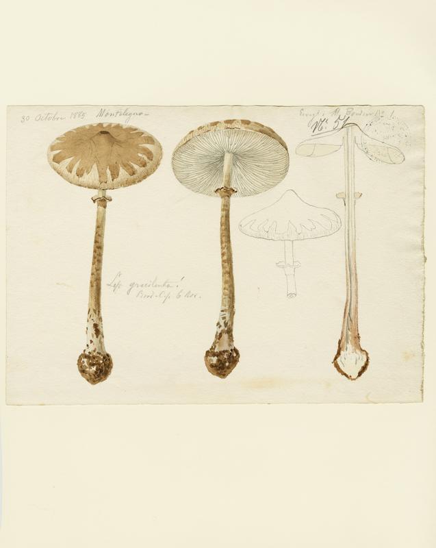 BARLA Jean-Baptiste (attribué à) : Lépiote gracile, champignon