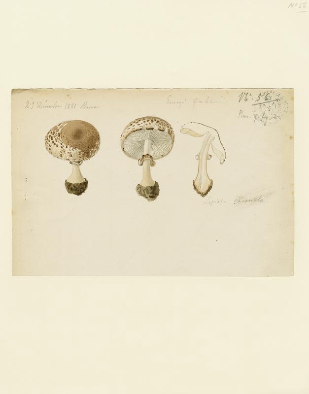 BARLA Jean-Baptiste (attribué à) : Lépiote excoriée, champignon