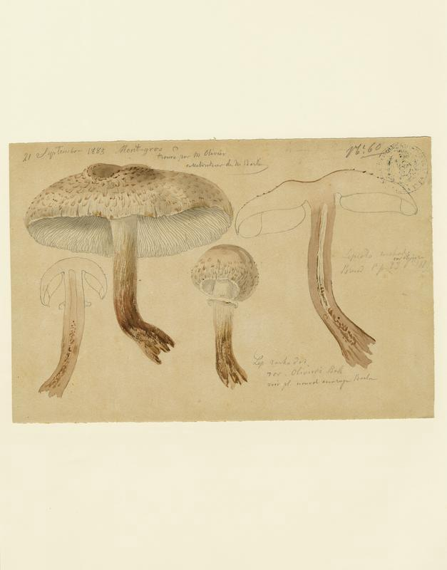 Lépiote déguenillée ; champignon