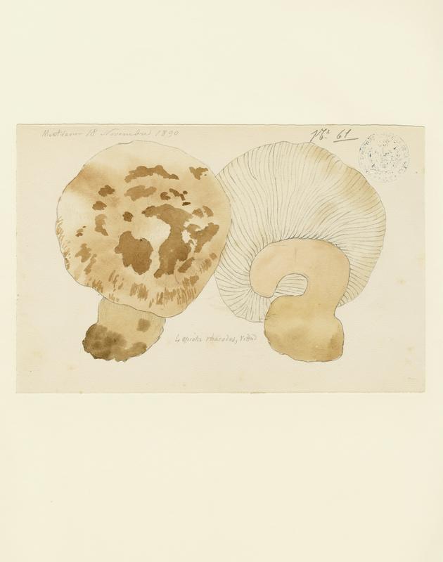 BARLA Jean-Baptiste (attribué à) : Lépiote déguenillée, champignon