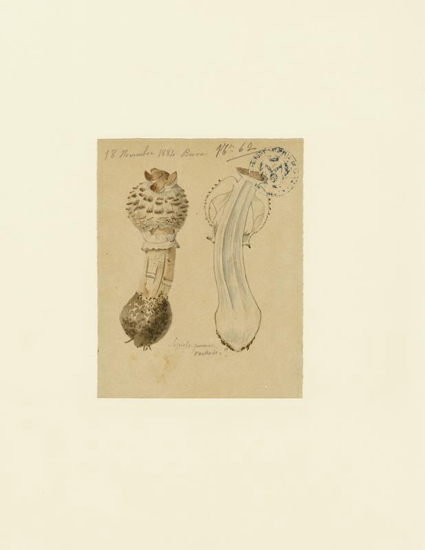 Lépiote déguenillée ; champignon_0