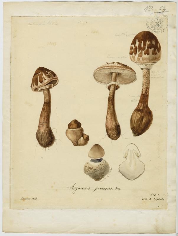 Lépiote élevée ; Coulemelle ; Golmotte ; Nez de chat ; Padre ; champignon_0