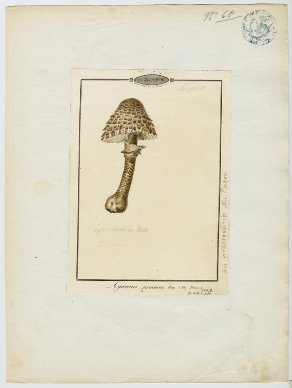 BARLA Jean-Baptiste (attribué à) : Lépiote élevée, Coulemelle, Golmotte, Nez de chat, Padre, champignon