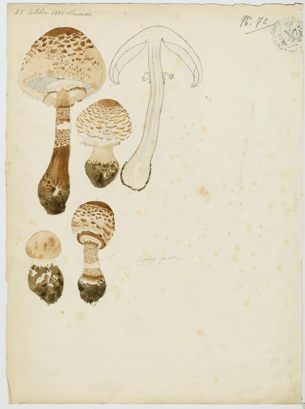 Lépiote élevée ; Coulemelle ; Golmotte ; Nez de chat  ; champignon