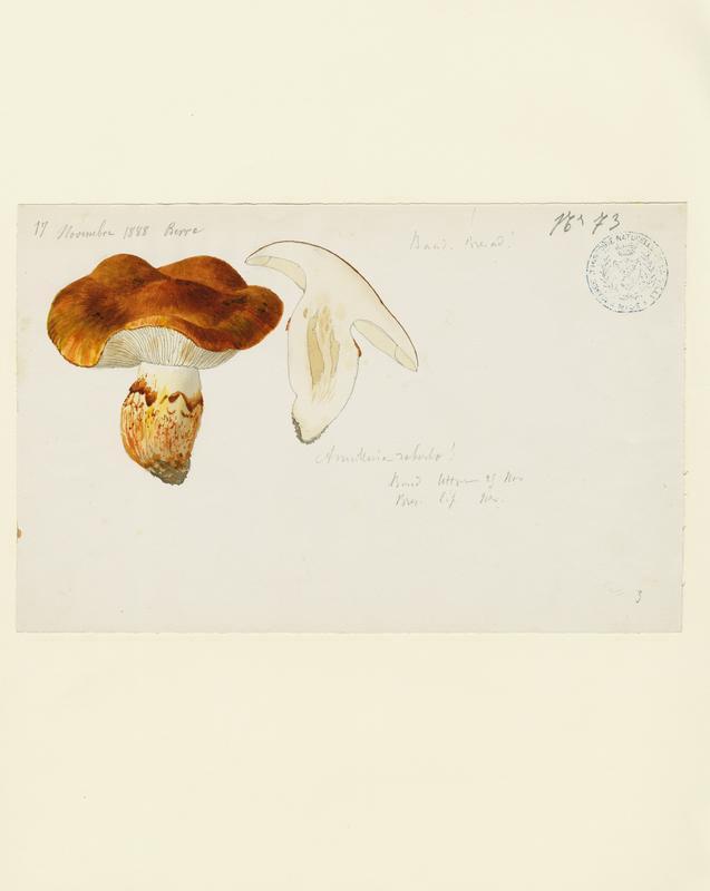Tricholome robuste ; champignon_0