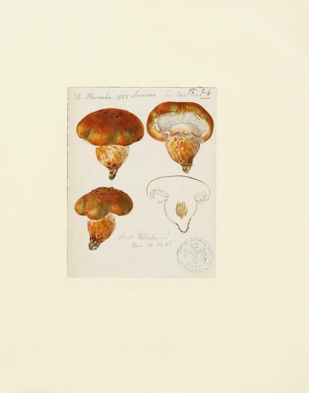 BARLA Jean-Baptiste (attribué à) : Tricholome robuste, champignon