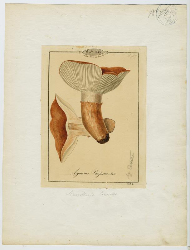 Agaric caussetta ; Caussetta ; champignon_0