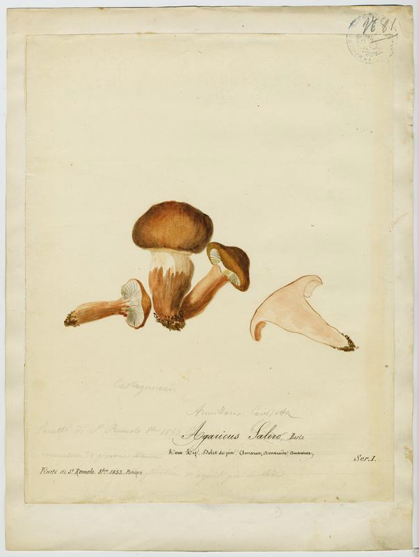 Bolet de pin ; champignon