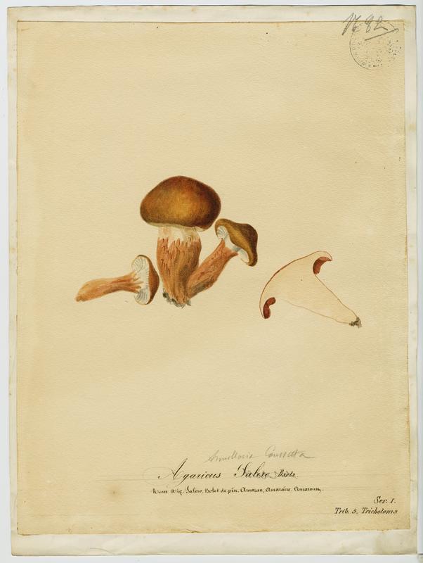Bolet de pin ; champignon_0