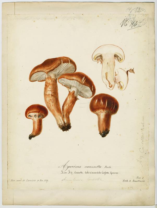 Agaric caussetta ; Caussetta ; champignon