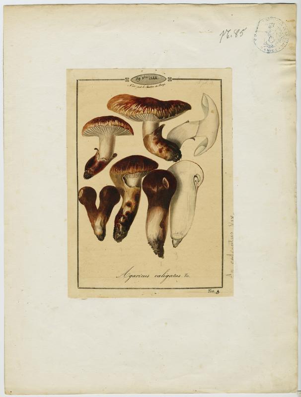 Tricholome chaussé ; Caussetta bigarrada ; champignon_0