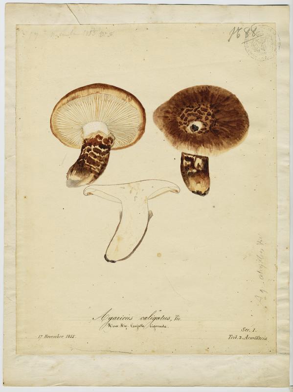 Tricholome chaussé ; Caussetta bigarrada ; champignon