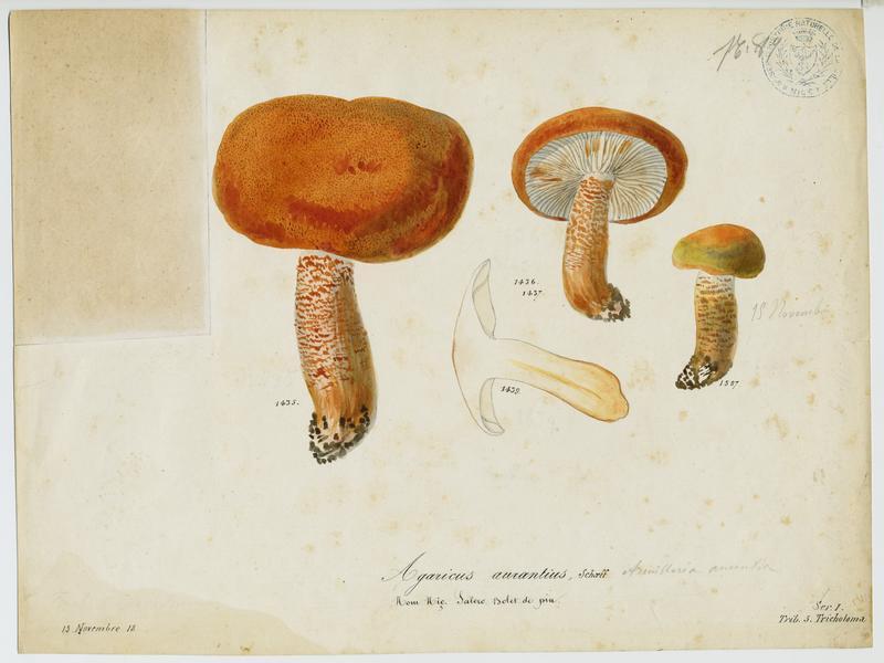 BARLA Jean-Baptiste (attribué à) : Agaric, Salero, champignon