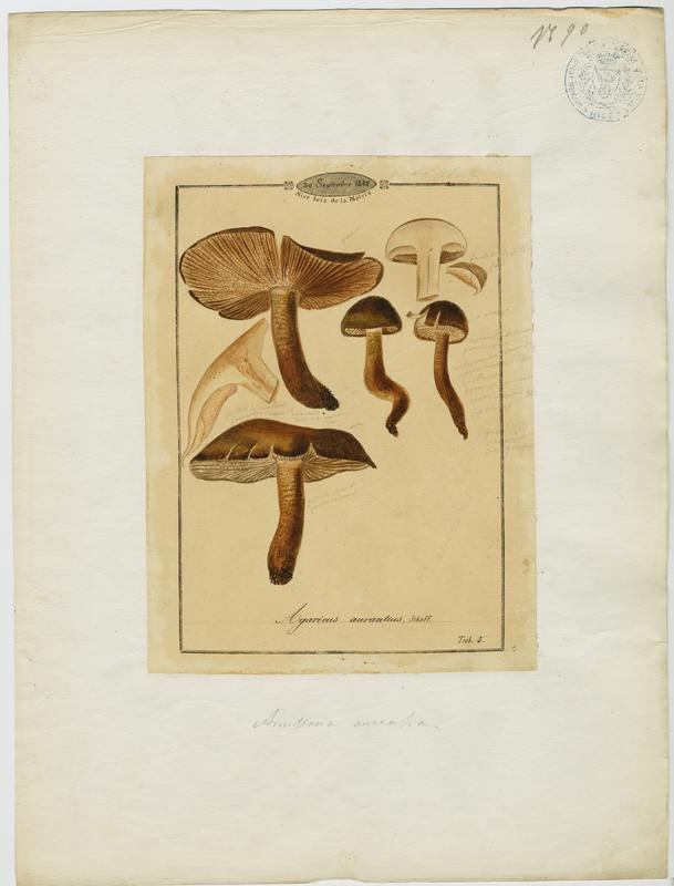 Agaric ; Salero ; champignon_0