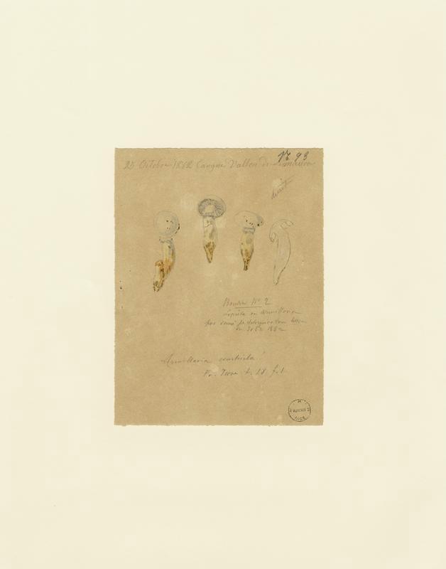 Calocybe ; champignon_0
