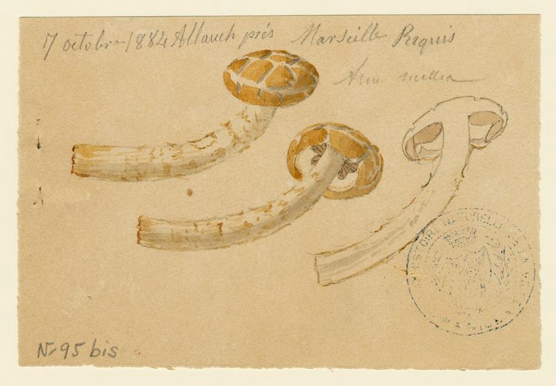 BARLA Jean-Baptiste (attribué à) : Armillaire couleur de miel, Souchette, Tête de méduse, champignon