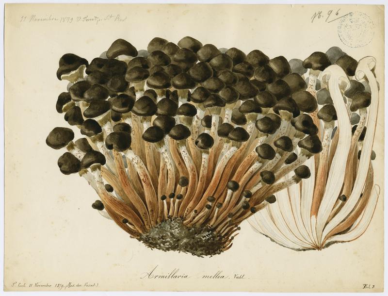 FOSSAT Vincent (aquarelliste, peintre) : Armillaire couleur de miel, Souchette, Tête de méduse, champignon