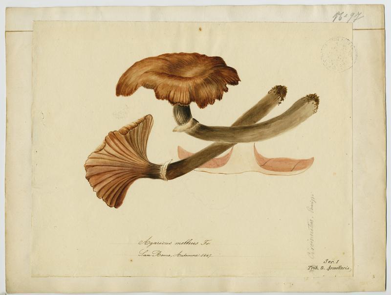Bolet d'Aulivié ; champignon_0
