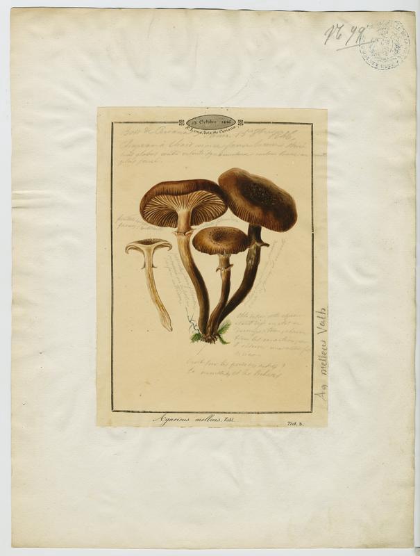 BARLA Jean-Baptiste (attribué à) : Armillaire couleur de miel, Souchette, Tête de méduse , champignon