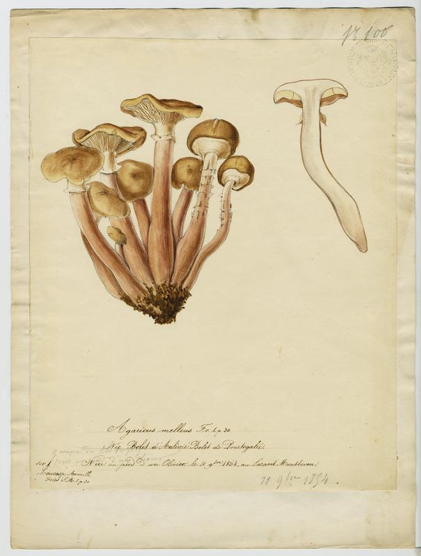BARLA Jean-Baptiste (attribué à) : Bolet d'Aulivié, champignon