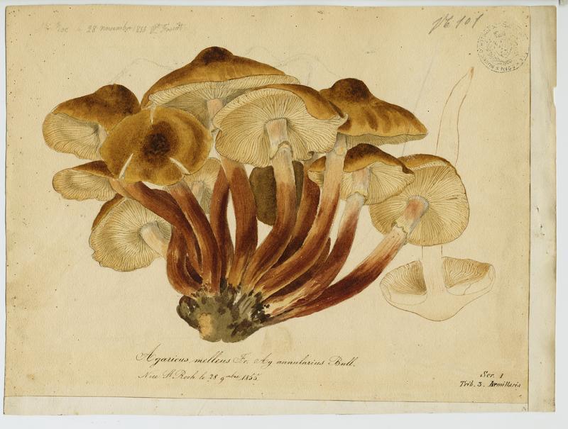 Agaric annulaire ; champignon_0