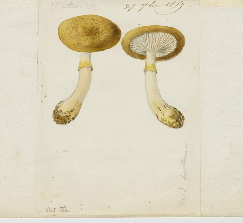 Armillaire ; champignon_0