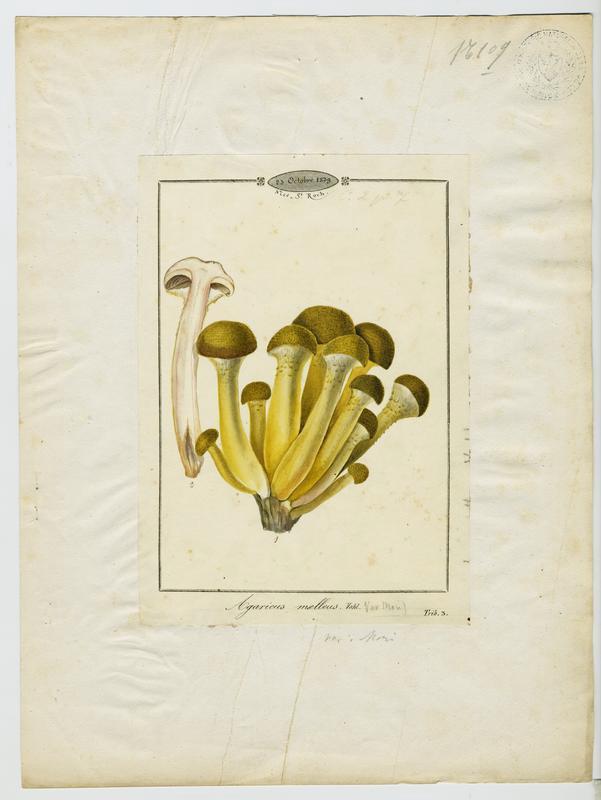 Armillaire couleur de miel ; Souchette ; Tête de méduse ; champignon_0