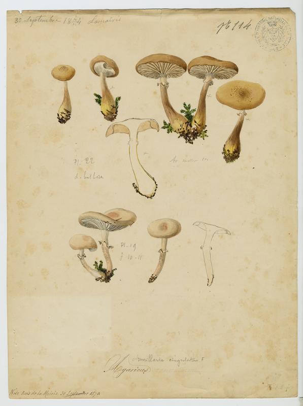 BARLA Jean-Baptiste (attribué à) : Agaric raclé, champignon