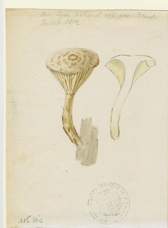 Lépiote guttulée ; champignon_0