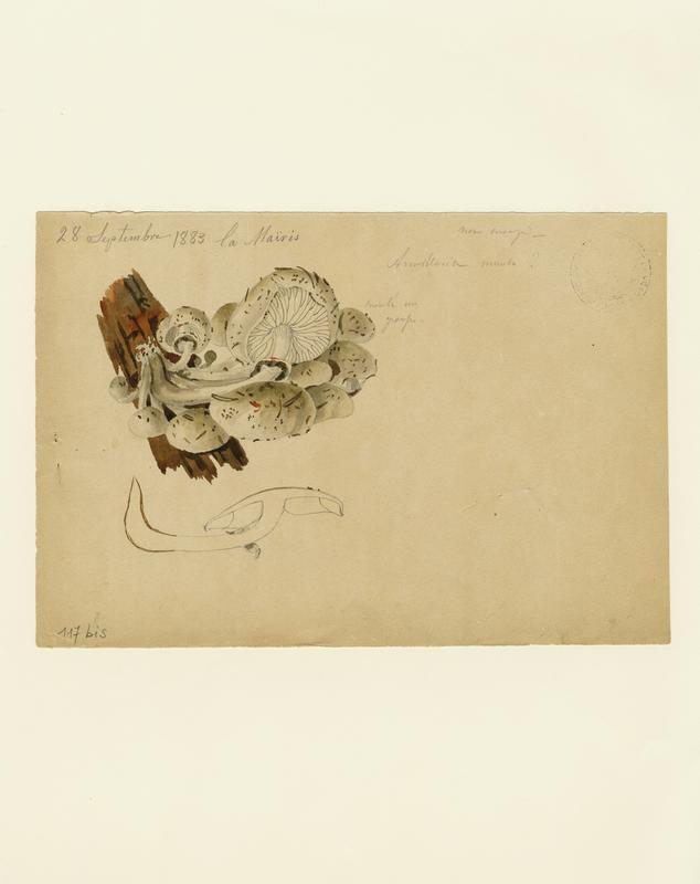 BARLA Jean-Baptiste (attribué à) : Collybie visqueuse, champignon