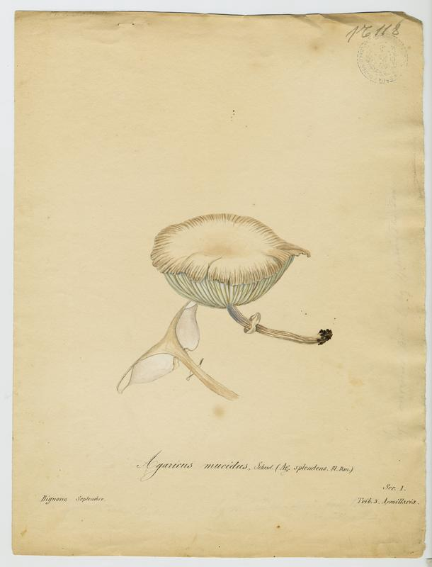 Collybie visqueuse ; champignon_0