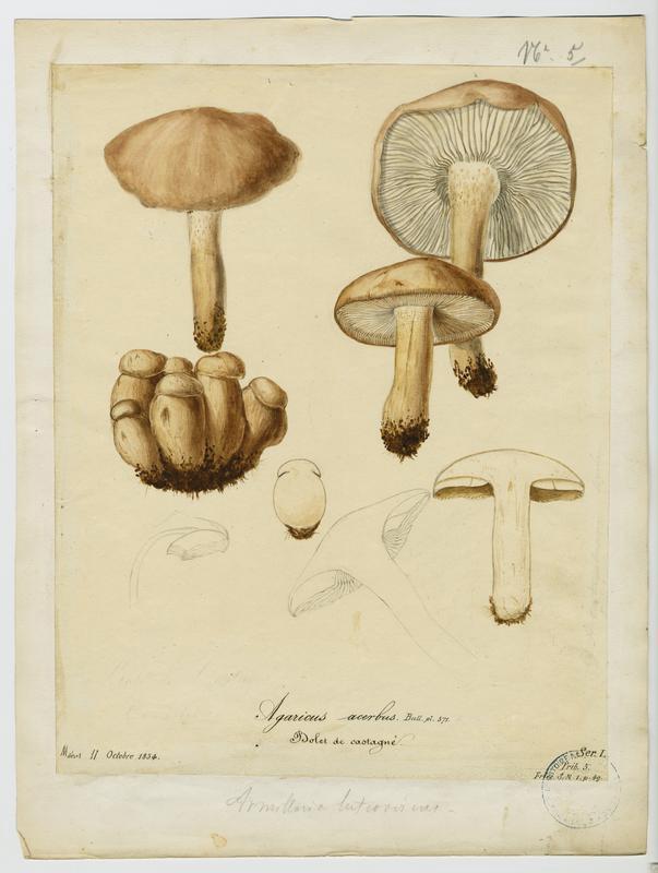 Tricholome acerbe ; Boulet de castagnié ; champignon_0