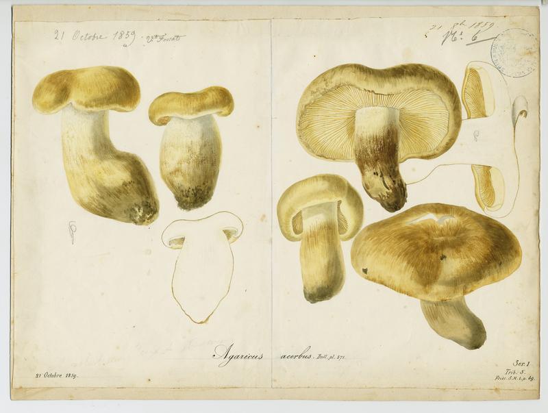 FOSSAT Vincent (aquarelliste, peintre) : Tricholome acerbe, Boulet de castagnié, champignon