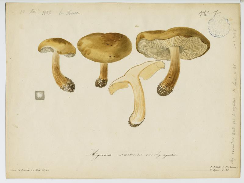 Agaric ; champignon_0