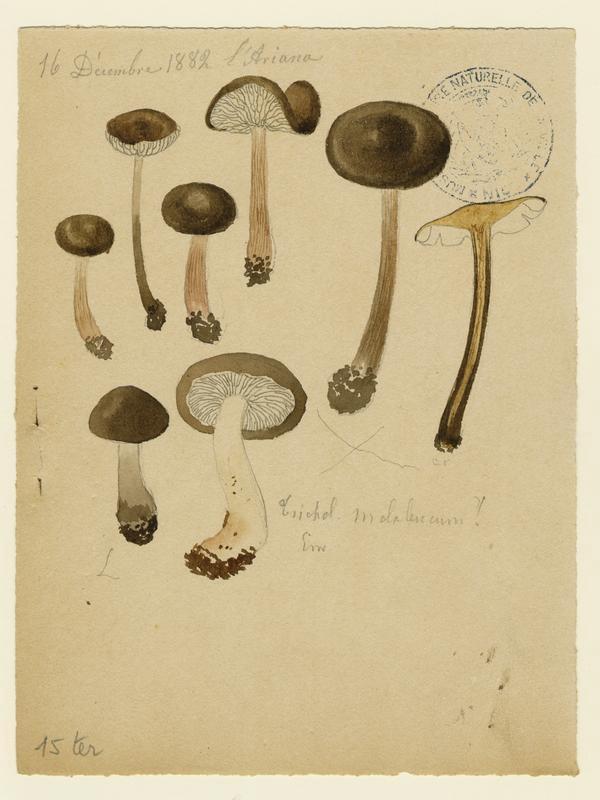 BARLA Jean-Baptiste (attribué à) : Tricholome, champignon