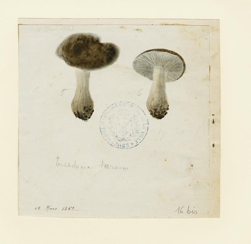 BARLA Jean-Baptiste (attribué à) : Tricholome terreux,  Petit gris, Griset, champignon