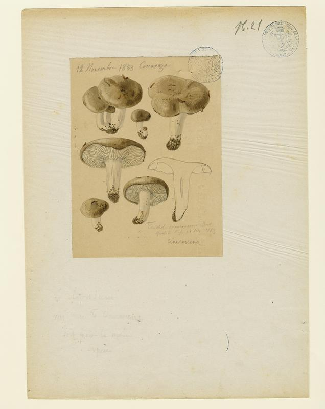 Lyophylle enfumé ; champignon_0