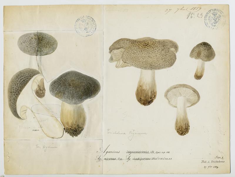 BARLA Jean-Baptiste (attribué à) : Tricholome à odeur de savon, champignon