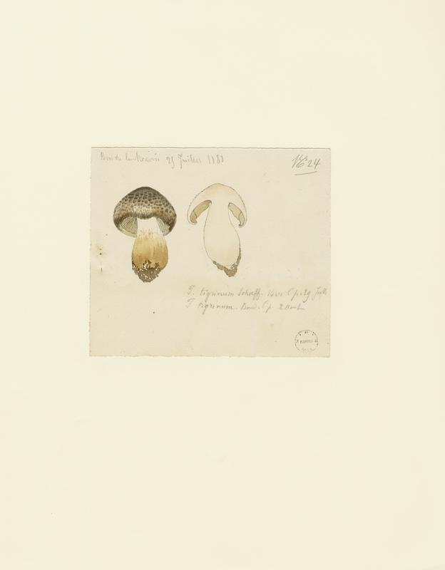 Tricholome tigré ; champignon_0