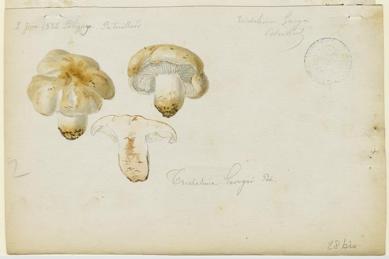BARLA Jean-Baptiste (attribué à) : Tricholome de la Saint-Georges, Mousseron, Mousseron vrai, Mousseron de Saint-Georges, champignon