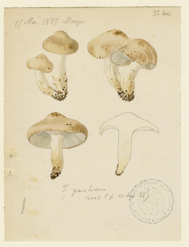 Tricholome de la Saint-Georges ; Mousseron ; Mousseron vrai ; Mousseron de Saint-Georges ;champignon_0