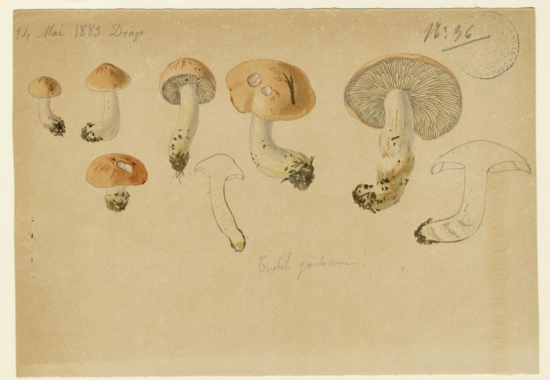 Tricholome de la Saint-Georges ; Mousseron ; Mousseron vrai ; Mousseron de Saint-Georges ; champignon
