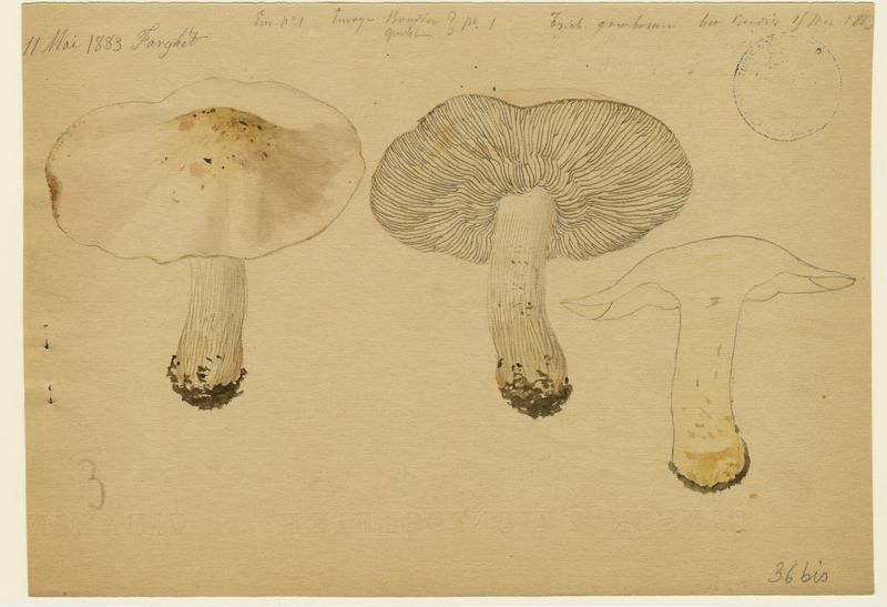 Tricholome de la Saint-Georges ; Mousseron ; Mousseron vrai ; Mousseron de Saint-Georges ; champignon_0