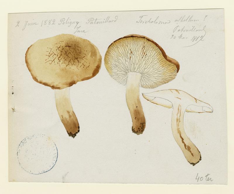 Tricholome ; champignon_0
