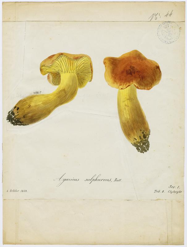 Tricholome soufré ; champignon_0